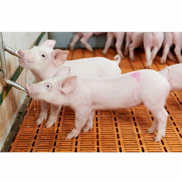 Pig Tap